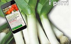 Coltivare il porro nell'orto, come si fa (giardinaggio) Tags: porro porri coltivare