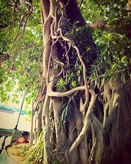 Old tree of attraction... The tree giving shades to the people, in this heavy heat  #tree #nature #trees #treeoflife #lumia #lumia1520 #shotonmylumia #shotonmylumia1520 #flickr #instagram #treescollection #oldtree #oldtreetrunk #treetrunk (Kunal-Chowdhury) Tags: old trees people tree nature this flickr shades treetrunk giving oldtree heat heavy attraction treeoflife the lumia treescollection oldtreetrunk  instagram ifttt lumia1520 shotonmylumia shotonmylumia1520