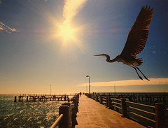 Great Heron in Sunset (npbiffar) Tags: bridge sunset bird heron nature water dock waterfront great