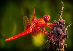 """Neon""    The Male Neon Skimmer Dragonfly (Cathy Lorraine) Tags: neon skimmer dragonfly libellulacroceipennis wildlife marsh pond lakes california insect ngc npc coth5 sunrays5 thefullertonarboretum fullerton"