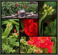 Give me Geraniums (MissyPenny) Tags: flowers red garden pennsylvania geraniums buckscounty pelargonium annuals zone6 bristolpennsylvania kodakz990 pdlaich