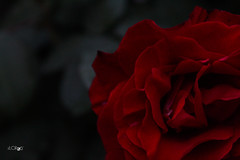 Luxuriance (A.saraflorence) Tags: life flowers light red italy black flower color macro green art love nature colors beautiful rose canon garden photography photo europe artist day photos dream passion instant botanic marche intensity blandness luxuriance