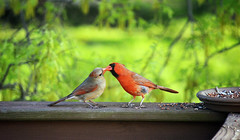 Love is in the air  (forgetmenot777) Tags: red male love female spring cardinal birdfeeder seed deck