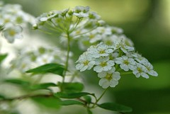 Flowers in the park (Ivo Angelov) Tags: flowers white flower macro green photography spring bush pentax bokeh fresh tamron freshly floret kavarna          pentaxk7