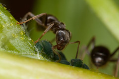 Ant and Aphids (DougLee) Tags: macro ant aphid