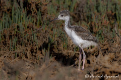 Black-necked Stilt Chick - IMG_5615 (arvind agrawal) Tags: