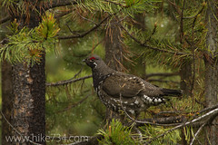 "Spruce Grouse • <a style=""font-size:0.8em;"" href=""http://www.flickr.com/photos/63501323@N07/8948572313/"" target=""_blank"">View on Flickr</a>"