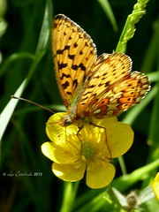 Small pearl-bordered fritillary (LPJC (not allowed to change name!)) Tags: uk butterfly worcestershire fritillary wyreforest lpjc smallpearlbordered