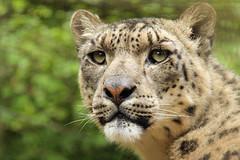 Panja (philipbrown77) Tags: canon bigcat snowleopard paradisewildlifepark 600d flickrbigcat