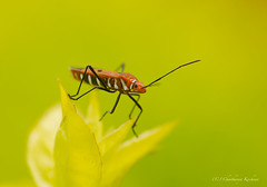 Red Bug (Chaithanya Krishnan) Tags: red macro green nature insect insects hebbal redbug sigma105mm hebballake chaithanya macrodreams nikond7000 dpsgreen chaithanyakrishnan