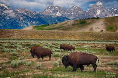 taken near gros ventre rd Wyoming (Pattys-photos) Tags: wyoming tetons bison