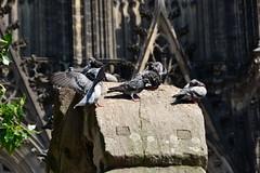 Tauben auf rmischen Nordtor in Kln beim Dom (Cathrine1) Tags: birds animals germany tiere cologne kln vgel