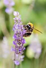 Lavender B (Jez22) Tags: copyright plant flower nature insect lavender bee pollen