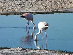 Reserva Nacional Los Flamencos (Alveart) Tags: chile flamingo desierto laguna salar flamenco altiplano salardeatacama antofagasta suramerica lagunasaltiplanicas nortegrande nortedechile lagunadechaxa reservanacionallosflamencos alveart luisalveart toconaochile