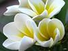 Palermo: Plumeria Frangipane (Luciano ROMEO) Tags: frangipane plumeria giallo fiore bianco pomelia