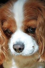 Mary Elizabeth.jpg (ciaran_mcg) Tags: dog kingcharles 2013 canoneos500d elementsorganizer