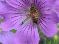 Hardy Geranium & Bee (sueeverettuk) Tags: flower macro canon insect petals purple bee veins hardygeranium a570is sueeverett severett