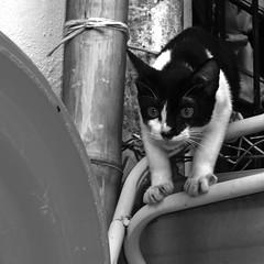 kucing jiran kena gaduh oleh kucing ku (PieceOfMindArt) Tags: animal cat nikon coolpix s3000