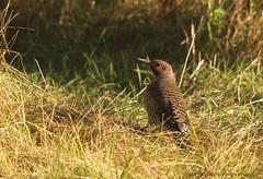 Flicker (S. J. Coates) Tags: woodpecker flicker lemoinepointconservationarea