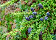 Dew Kissed (SusanRSerna) Tags: autumn plant tree green fall nature water alaska nikon purple cone anchorage dew pinecone hemlock naturalworld d60 dailynaturetnc13