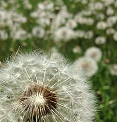 IMG_0335 (debshinnlinger) Tags: flower spring dandelion seeds makeawish