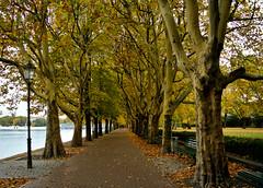 Herbst am Tegeler See (Kat-i) Tags: autumn trees lake berlin yellow deutschland see herbst gelb kati bäume allee tegel platanen uferweg nikon1v1