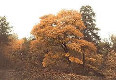 Atmospheric (Simon Dovhage) Tags: autumn orange tree leaves forest atmosphere creepy spooky enchanted 2013