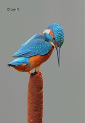 Kingfisher (Alcedo atthis). Amber Status (Col-Page) Tags: