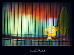 Kenari WS (Dawir Kopek) Tags: bokeh kenari burungkenari petersimonlewier simondawir simondawirphotobook