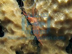 2007-10 HERBLAND PEPPERMINT SHRIMP LYSMATA WURDEMANNI 9606