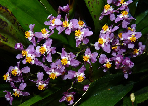 Oncidium sotoanum species orchid: my first use of the new species name 11-13*