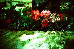 Double flowers (srgpicker) Tags: flowers flores film analog 35mm lomo lca lomography crossprocessed xprocess doubleexposure ct lomolca agfa geranium lomograph geranios precisa castellote  agfaphoto centrofuji