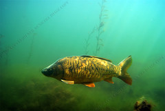 morning carp (neilmcnicoll) Tags: carp beautifulfish