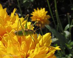 Struiksprinkhaan (m)  op Coreopsis (♥ Annieta  home and catching up) Tags: flower holland nature netherlands fleur yellow jaune canon bug garden insect flora nederland jardin natuur powershot tuin geel insekt augustus allrightsreserved sprinkhaan bloem krimpenerwaard struiksprinkhaan leptophyespunctatissima 2013 annieta macromarvels damniwishidtakenthat usingthisphotowithoutpermissionisillegal mygearandme sx30is