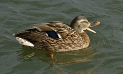Female Mallard  Explored (Paul (Barniegoog)) Tags: bird nature water beak feathers waterbird mallard