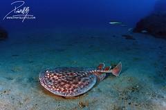 Stingray (Torpedo marmorata) (Piñatel) Tags: stingray torpedo raya marmorata torpedotorpedo