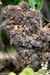 Commersonia bartramia -  Brown Kurrajong, Mt Annan Botanic Gardens, Campbeltown, NSW (Black Diamond Images) Tags: flowers nsw malvaceae campbeltown arfp mtannanbotanicgardens australianrainforestplants commersoniabartramia brownkurrajong commersonia mabgc nswrfp qrfp australianrainforestflowers arfflowers whitearfflowers brownarffs lowlandarf littoralarf subtropicalarf australianrainforestflora mabgcarfp