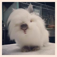 เทรนด์ทรงผมสไตล์เกาหลีฮะ หวีหล่อเตรียมไปแถลงข่าวงาน Pet ExPo ฮะ#กระต่าย #ไลอ้อนเฮด#rabbit #bunny #lionhead