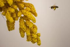 蜜蜂 (FiPremo) Tags: yellow canon eos sigma bee giallo ape pollen fiori 蜜蜂 6d polline