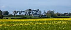 near Straffan, Co Kildare (@JohnA390) Tags: ireland house yellow evening spring rapeseed kildare straffan