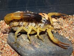 Hottentotta salei (Oman)  adult (ScorpionsExplored) Tags: scorpion oman offspring venomous invertebrate buthidae captivebreeding
