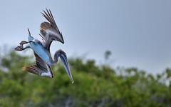 Galapagos-20140714-1637-BK2W3631-Edit (Swaranjeet) Tags: pelican pelicans galapagos ecuador bird largebirds july2014 canon fullframe 1dx eos1dx dslr sjs swaran swaranjeet swaranjeetsingh sjsvision sjsphotography swaranjeetphotography 2014 eos canoneos1dx 35mm ef pro 200400 canonef200400mm canonef200400mmf4lisusm14x singh photographer thane mumbai india indian