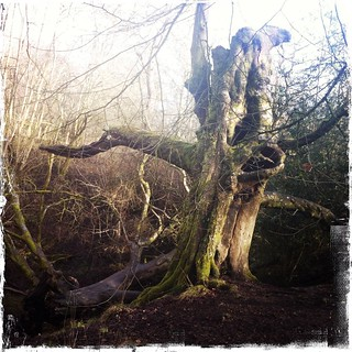 Gnarly Tree, Forest of Dean