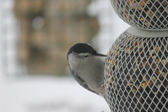 White-breasted Nuthatch (Saline, Michigan) (cseeman) Tags: birds michigan feeders nuthatch saline whitebreastednuthatch suet salinebirds02072015