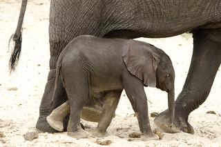 Baby Elephant - Loxodonta africana