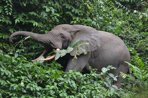Forest elephant, Conkuati, Republic of Congo