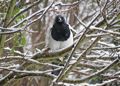 Magpie in the Snow2 (Daisy Waring World) Tags: snow magpie snowybranches