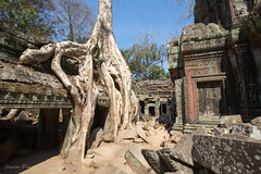 Taking Back (Jason Pineau) Tags: trees tree overgrown religious temple cambodia khmer religion growth jungle temples siemreap angkor wat