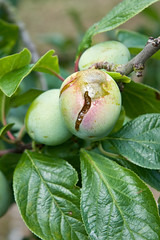 Plums with split skins (Alan Buckingham) Tags: fruit plum problem disorder gage brogdale greengage birddamage splitskin
