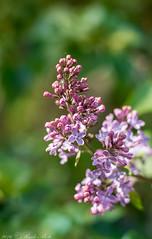 lilac (RudaPhoto) Tags: flower macro nature closeup garden petals nikon blossom meadow poland polska nikkor makro kwiaty macrophoto macrophotography ogród nikkor50mm14 d7100 zbliżenie macrodream atclose